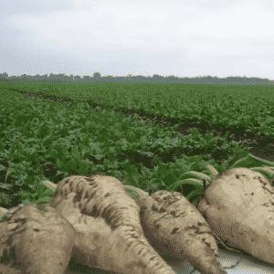 Как правильно выращивать и когда собирать семена свеклы: пошаговое руководство и важные советы