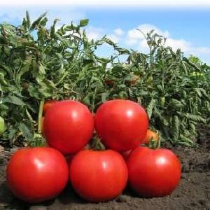 """Лидер среди раннеспелых помидоров, любимец фермеров: томат """"Катюша"""", характеристика и описание сорта"""
