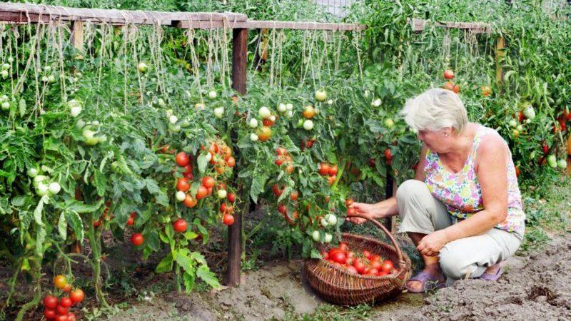 """Любимец отечественных дачников, самый неприхотливый в уходе и при этом высокоурожайный томат """"Яблонька России"""""""