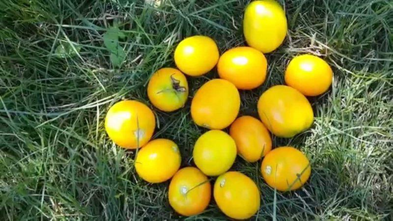 Особенности ухода за желтоплодными томатами