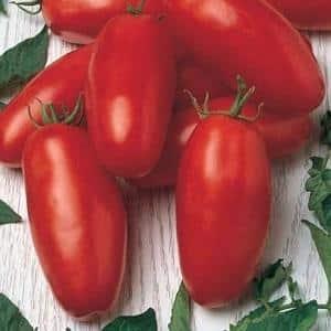 """Подарок для начинающих огородников - томат """"Челнок"""" неприхотливый в уходе и богатый на урожай"""
