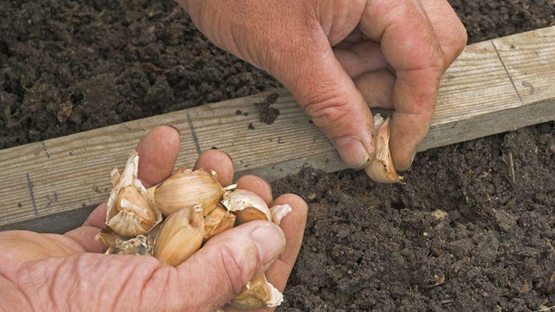 Пошаговая инструкция по выращиванию чеснока в открытом грунте для начинающих: этапы и советы от фермеров со стажем