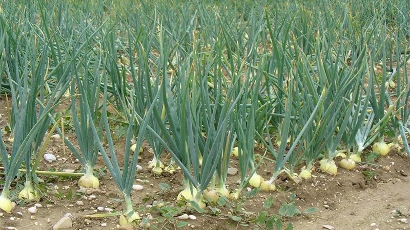 Практическое руководство по выращиванию чеснока в теплице: методика от огородников со стажем