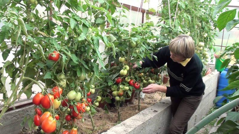 Самые лучшие сорта томатов для теплицы, устойчивые к фитофторе