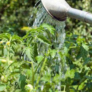 Секреты ухода за томатами для повышения урожайности: чем подкормить помидоры во время цветения и плодоношения