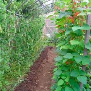 Секреты выращивания гороха в открытом грунте и теплице