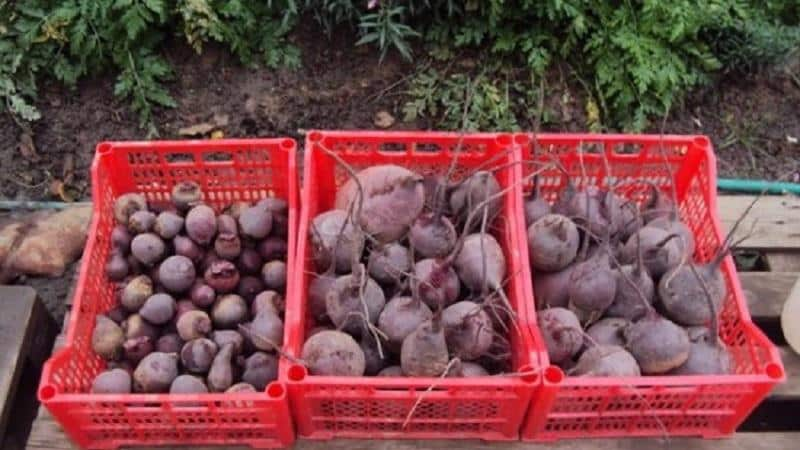 Свежие овощи круглый год - как хранить свеклу в погребе зимой: создаем идеальные условия и избегаем порчи продукта