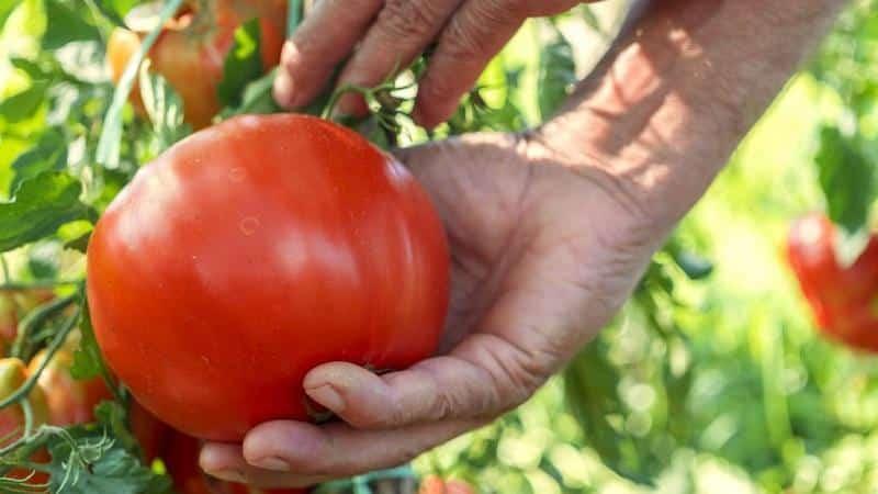 Топ-20 лучших суперранних сортов томатов для открытого грунта: выбираем подходящий вместе