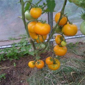"""Яркий сорт с богатым урожаем и насыщенным вкусом - томат """"Эльдорадо"""" и особенности его выращивания"""