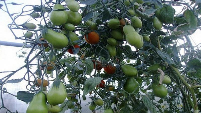 Какие бывают томаты: ключевые отличия и особенности выбора