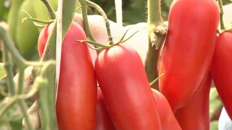 """Угощение с грядки для настоящих гурманов: томат """"Царское искушение"""""""