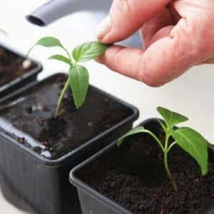 """Необычный плод с оригинальным названием: томат """"Банан красный"""" - чем он хорош и как его вырастить самостоятельно"""