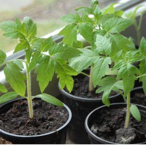 """Рекордное содержание полезных веществ, яркий облик и насыщенный вкус - томат """"Золотое сердце"""""""