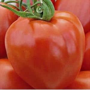 """Гость на грядке, названный в честь звезды: томат """"Канопус"""""""