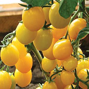 """Миниатюрные кустики с крошками-помидорками - украшение грядки: томат """"Карамель"""" и советы по его выращиванию"""
