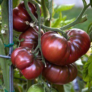 Томат Шоколадное чудо урожайность характеристика и описание сорта с фото