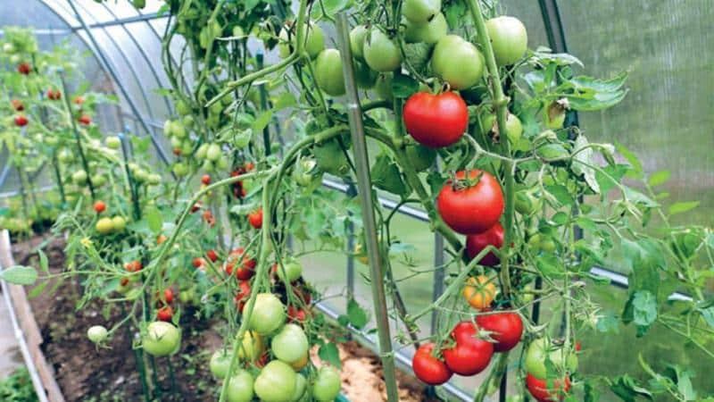 """Преимущества и недостатки томата """"Цунами"""", характеристика плодов и тонкости выращивания"""