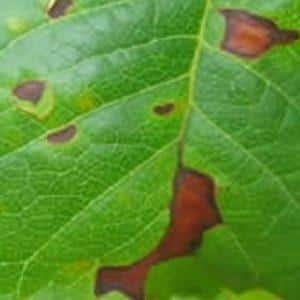 Как выявить септориоз томатов и избавиться от него: эффективные средства и народные методы лечения