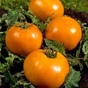 """Прекрасная особа на вашей грядке - томат """"Золотая королева"""": раннеспелый, яркий и так обожаемый дачниками-эстетами"""