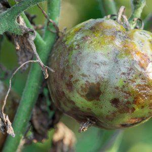 Чем и как бороться с фитофторой на помидорах в теплице: лучшие методы и отзывы огородников