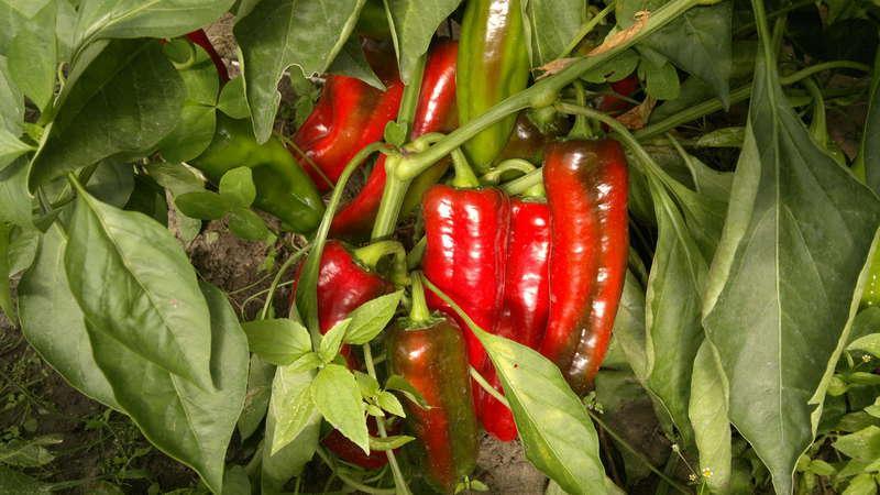 С чем нельзя сажать рядом горький перец: правила севооборота и секреты выращивания