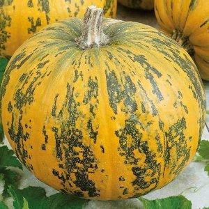 Самые популярные сорта зеленой тыквы и особенности их выращивания