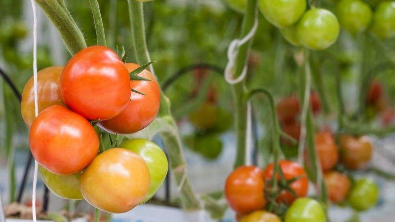 """Универсальный скороспелый томат """"Волгоградский"""": чем хорош и почему стоит его выращивать на своем участке"""