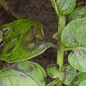 """Среднеспелый, высокоурожайный и необычный по форме томат """"Казанова"""": отзывы фермеров и советы по выращиванию"""