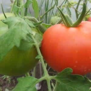 """Проверенный временем и любимый многими дачниками томат """"Дубрава"""": чем хорош и почему стоит его выращивать"""