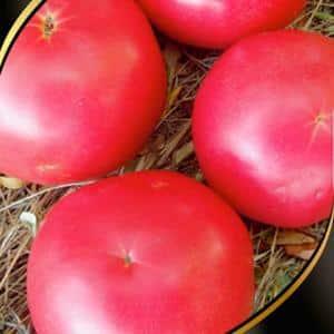 """Почему дачники так любят томат """"Алтайский оранжевый"""", отзывы о его урожайности и секреты ухода"""
