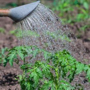 Как подкормить помидоры борной кислотой, йодом и золой: готовим раствор и вносим его правильно