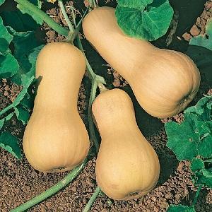 """Как вырастить на своем участке тыкву """"Ананасную"""" с удивительным сладким вкусом и приятным ароматом"""