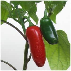 Что такое перец Халапеньо, как его выращивают и применяют