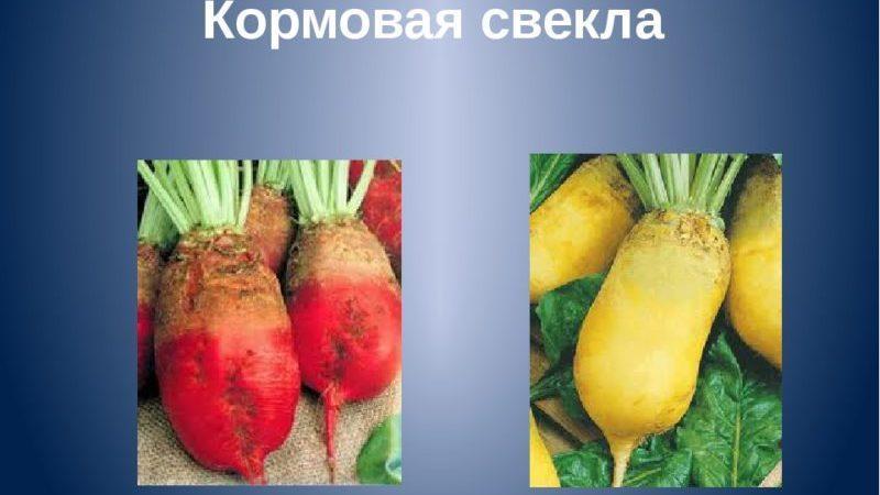 Чем отличаются кормовая свекла и сахарная свекла: разница во внешнем виде, сферах применения и других параметрах