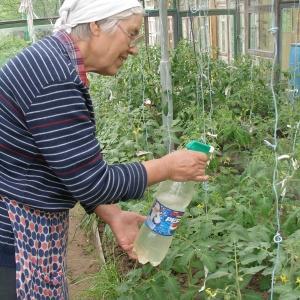 Чем подкормить помидоры во время плодоношения в теплице: лучшие составы и инструкция по проведению процедуры