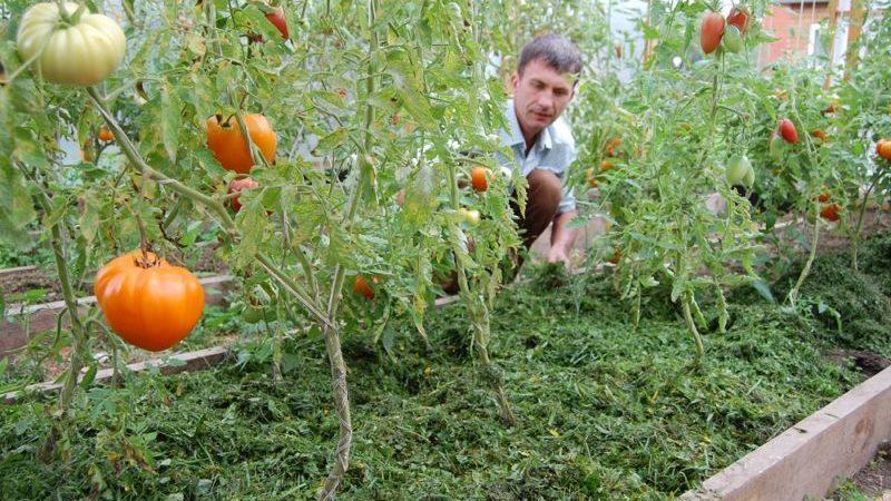Что такое мульчирование, для чего оно нужно и можно ли мульчировать помидоры опилками: советы и рекомендации