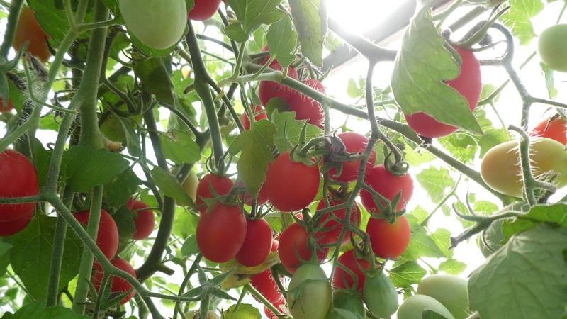 """Яркое и вкусное украшение грядок - томат """"Клюква в сахаре"""""""