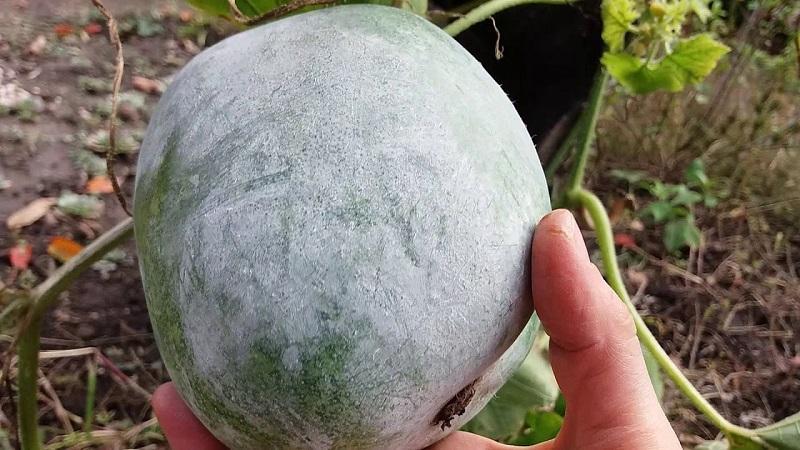 Лечебные свойства восковой тыквы и особенности её выращивания