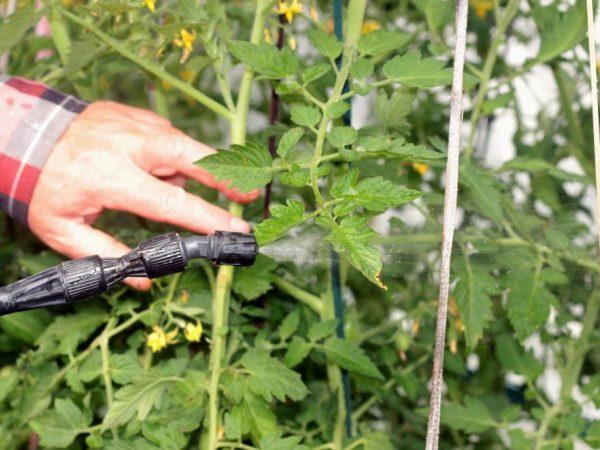 Бордосская жидкость для опрыскивания помидор