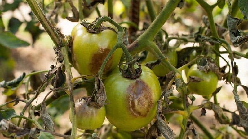 Лечим популярную болезнь томатов легко и быстро: борная кислота от фитофторы на помидорах