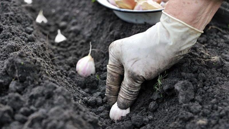 После чего сажать чеснок под зиму, а после каких растений не стоит