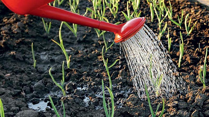 Перенимаем мудрость огородников со стажем - после чего сажать чеснок под зиму и какие предшественники могут навредить
