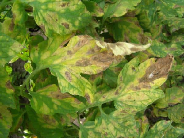 Почему появляются светлые пятна на листьях томатов: определяем причину и спасаем свой урожай