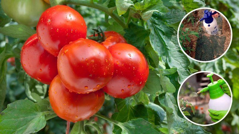 Подробное описание помидоров Линда F1 - особенности плодов и семян