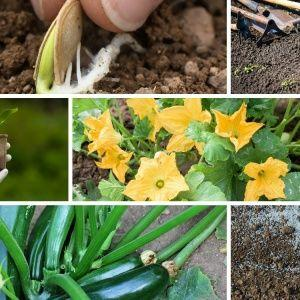Правильное выращивание кабачков и уход в открытом грунте: секреты агротехники для получения отличного урожая