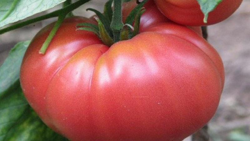 """Преимущества и секреты выращивания среднеспелого, устойчивого к болезням и вредителям томата """"Корнеевский"""""""