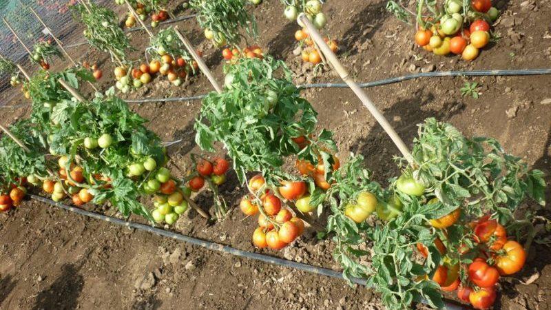 """Простой в уходе, неприхотливый, но очень урожайный и вкусный """"Старосельский"""" томат: выращиваем самостоятельно"""