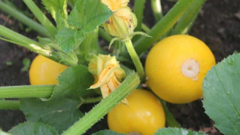 """Сорт кабачков """"Апельсинка"""" с экзотическим вкусом и оригинальным внешним видом: выращиваем и удивляем соседей"""