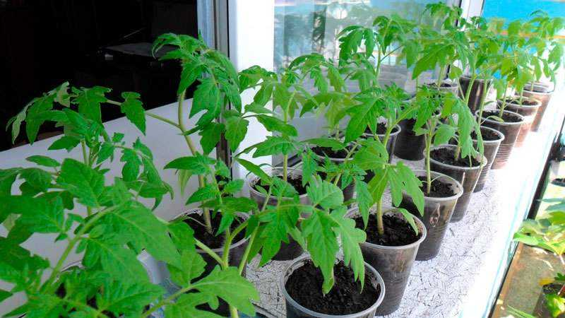 """Стоит ли выращивать томат """"Княгиня"""": мнения дачников и секреты получения богатого урожая ароматных помидоров"""