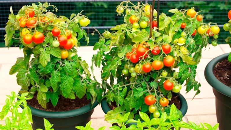 """Урожай на окне круглый год: выращиваем помидоры """"Балконное чудо"""" в домашних условиях"""
